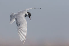 Whiskered tern Stock Photography