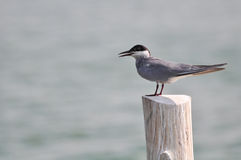 Whiskered Tern (Chlidonias hybrida))  standing on post Royalty Free Stock Photography