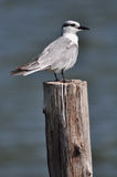 Whiskered Tern (Chlidonias hybrida) standing on post Stock Photography