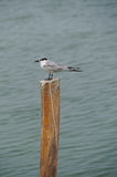 Whiskered Tern (Chlidonias hybrida) standing on post Royalty Free Stock Images