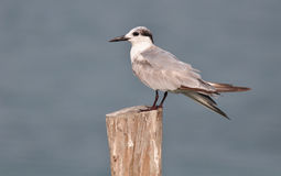 Whiskered Tern (Chlidonias hybrida). In Thailand Stock Images