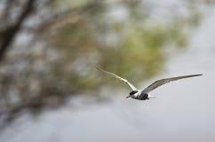 Whiskered Tern (Chlidonias hybridus) on Flight Stock Images
