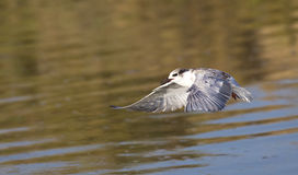 Whiskered Tern (Chlidonias hybridus) on Flight Royalty Free Stock Photography