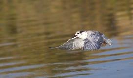 Whiskered Tern (Chlidonias hybridus) on Flight Royalty Free Stock Photography