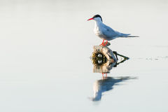 Whiskered tern (Chlidonias hybridus) in natural habitat Stock Photography