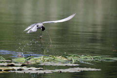 Whiskered tern, Chlidonias hybridus. Single bird in flight with nest material Stock Photos