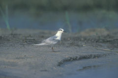 Whiskered tern, Chlidonias hybridus Royalty Free Stock Photography
