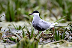 Whiskered tern, Chlidonias hybridus. Single bird by water, Romania, May 2015 Royalty Free Stock Photography