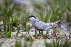 Whiskered tern, Chlidonias hybridus. Single bird by water, Romania, May 2015 Stock Photo