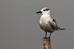 Whiskered Tern closeup. Close up of a Whiskered Tern resting on top of a bamboo pole at Mangalajodi, Orissa Stock Photography