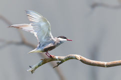 Whiskered Tern coming in to land Royalty Free Stock Images