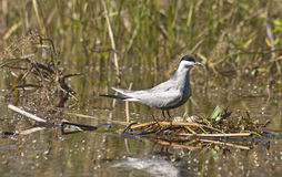 Whiskered Tern with eggs. Whiskered Tern (Chlidonias hybridus) guarding her reed nest with eggs Royalty Free Stock Image