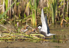 Whiskered Tern family Stock Image