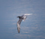 Whiskered Tern in flight Stock Photo