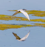 Whiskered Tern in flight Royalty Free Stock Photography