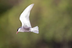 Whiskered tern in flight with open wings Stock Photos