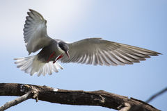Whiskered tern in flight with open wings Royalty Free Stock Image
