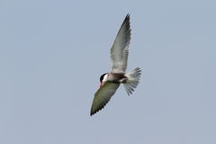 Whiskered tern in flight Royalty Free Stock Photos