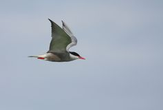 Whiskered Tern flying Royalty Free Stock Images