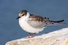 Whiskered tern juvenile on rock. Whiskered tern juvenile standing on rock at Black Sea Stock Image