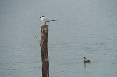 Whiskered Tern standing on post Stock Photos