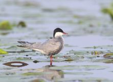 A whiskered tern stands on the water. Plants Royalty Free Stock Photography