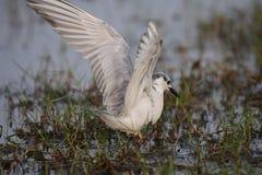 Whiskered Tern, White, Migratory, Bird, Wildlife, Nature. Perfect landing of hunter - Whiskered Tern at Mangalajodi Wetlands, Odisha India Royalty Free Stock Image