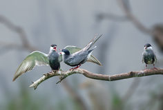 Whiskered Terns having an argument Royalty Free Stock Photo