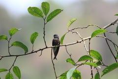 Whiskered Treeswift. (Hemiprocne comata) in Borneo Royalty Free Stock Photo
