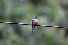 Whiskered treeswift. Hemiprocne comata in Danum Valley, Sabah, Borneo, Malaysia Royalty Free Stock Photography