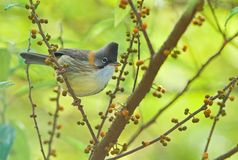 Whiskered Yuhina Royalty Free Stock Photo