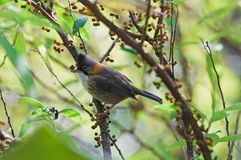 Whiskered Yuhina Stock Images