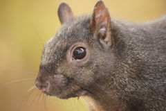 Whiskers of the black squirrel. Stock Images