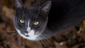 Whiskers And Yellow Eyes Royalty Free Stock Photo