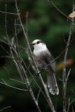 Whiskey-Jack. Gray Jay in Algonquin Provincial Park, Ontario royalty free stock image
