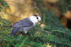 Whiskey Jack. Closeup of a Gray Jay in Algonquin Provincial Park, Ontario royalty free stock image