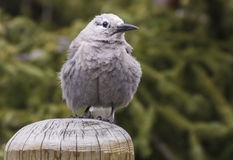 Whiskey Jack Bird Royalty Free Stock Images