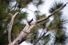 Whiskeytown National Recreation Area Woodpecker Stock Photos