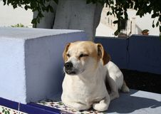 Whisky, the free living dog of Puerto Naos. royalty free stock image