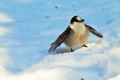 Whisky Jack ptak w śniegu Obrazy Royalty Free