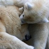 In a whisper. Polar bears, mother with a small baby Royalty Free Stock Images