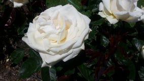 Whisper Rose. Intense White Blooming Whisper Rose stock image