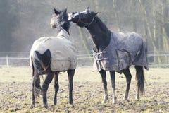 Whisperer del caballo Imagen de archivo libre de regalías