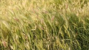 Whispering grass stock video footage