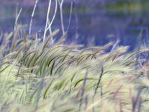 Whispering grass in the wind Stock Photography