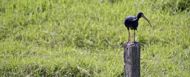 Whispering ibis perched on fence post, on green grass background Royalty Free Stock Photography