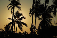 Whispering Palm Trees. Silhouettes of palm trees at dawn in the Indian state of Goa Royalty Free Stock Images