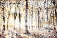 Whispering woodland in autumn fall. Engish woodland with thick whispers wafting through the dense tree forest. Haunting colours in a surreal natural winter Stock Image