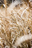 Whispers of Wheat Stock Photography