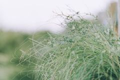 Whispy green beach grass Royalty Free Stock Images